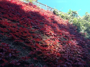 Autumnal leaves by Regents Canal